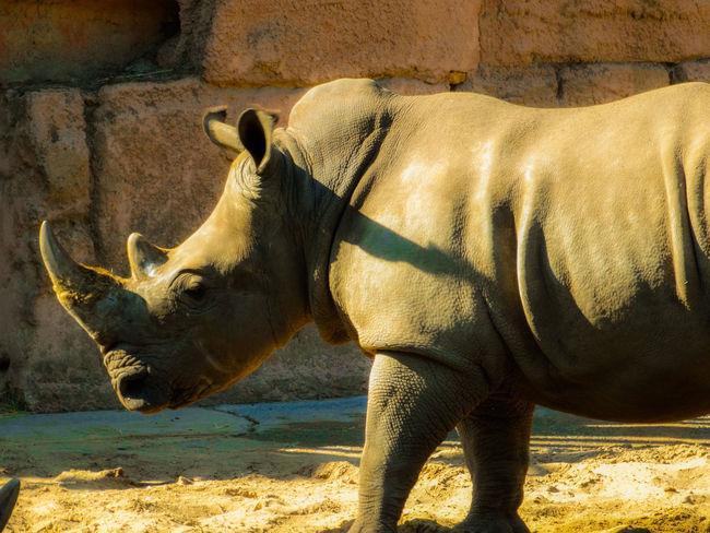 Animal Animal Themes Animal Wildlife Animals In Captivity Animals In The Wild Day Herbivorous Mammal Nature No People One Animal Outdoors Rinoceros Shadow Standing Sunlight Vertebrate Wildlife Zoo