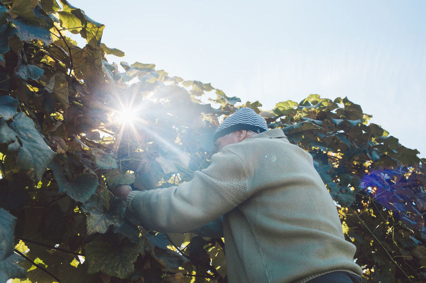 Vine Vineyard Plant Harvest Harvesting Harvest Time Autumn Sunlight Real People Sky One Person Nature Lens Flare Sunbeam Leisure Activity Lifestyles Day Growth Sun Men Beauty In Nature Tree Clothing Outdoors Leaf Warm Clothing Bright