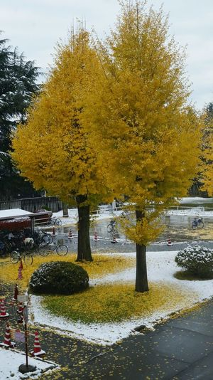 After 54 years. The autumn leaves and snow back together Autumn Autumnsnow Beauty In Nature Beauty In Nature Capture The Moment Nature Outdoors Scenics Snow Tree