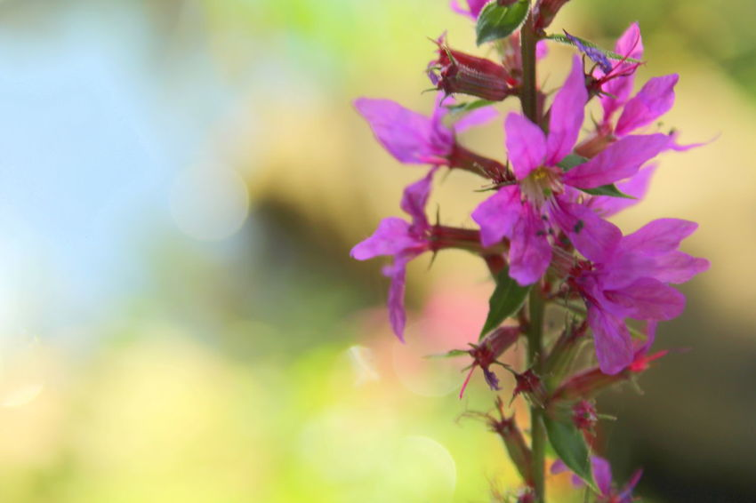 Blutweiderich Langgöns, Near Gießen, Hessen, Germany Lythraceae Beauty In Nature Close-up Flower Flower Head Flowering Plant Focus On Foreground Fragility Freshness Loosestrife Nature Purple Selective Focus Soft Background Soft Colours