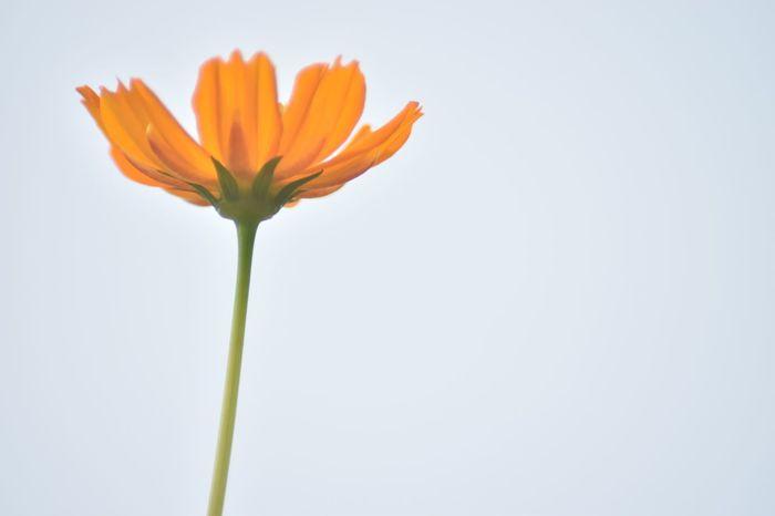 全てを受け止められるように。 Flower Fragility Beauty In Nature Nature Orange Color Petal キバナコスモス Cosmos コスモス