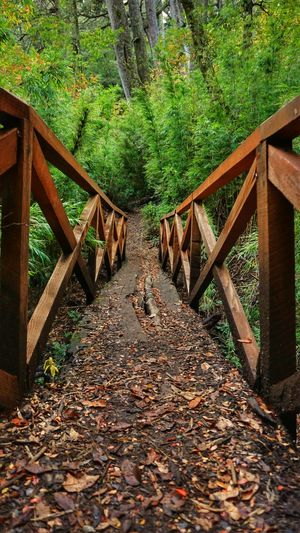 Leaf Tree Wood - Material Day Outdoors Nature Autumn No People Green Color Footbridge Beauty In Nature Freshness Taking Photos Sony A6000 EyeEm Nature Lover Curacautin Nature_collection Nature Photography Autumn Tranquility Forest Beauty In Nature Hiking