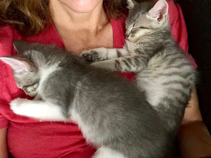 Foster Mom Sleeping Pets Sleeping Animal Feline Bonding With Animals Fosterkittens Snuggles Kittens Kittensnuggles Kittens Sleeping Cat Midsection One Person Pets Mammal Red Domestic Domestic Animals Indoors  Front View Real People Pet Owner Lifestyles