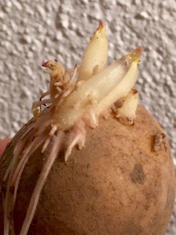 Kartoffel Kartoffeln