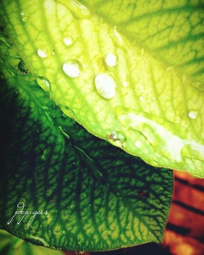 A drop of beauty. Plants 🌱 Raindrops Green Outdoor Photography Rain Rainy Days Beautiful Nature Dejagersphotography Julia De Jagers Photography Leaf Nature Green Color Beauty In Nature Freshness Close-up Drop Outdoors No People Day Growth Water