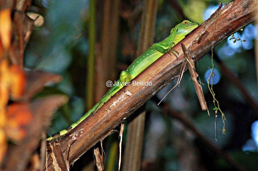 La fauna tiene unos colores increíbles por Costa Rica Travelling Travel Photography Viaje A Costa Rica Fotografia De Viaje