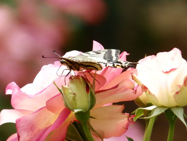 From the very same rose garden, same time taken. And probably the same butterfly as the previous photo. | 先ほどの薔薇picと同じバラ園から.. 同じ時に撮ることが出来て…と多分全く同じアゲハくん!(*^^*) | Swallowtail butterfly and the Rose Garden, 2nd of the hopefully many rose and butterfly photo series that i would probably post here. (^_^;) Good late evening to Y'all from us here in Tokyo! ♪☆ | アゲハ蝶 薔薇🌹 Rose - Flower Flower Beauty In Nature Swallowtail Butterfly Insect Petal Close-up Macro Animal Themes Butterfly - Insect Olympusphotography Rose Collection EyeEm Best Shots - Nature EyeEm Best Shots Eyeemgallery EyeEmNewHere Olympusinspired From My Point Of ViewOlympus NoEditNoFilter Full Frame Garden Flowers Nature's Diversities