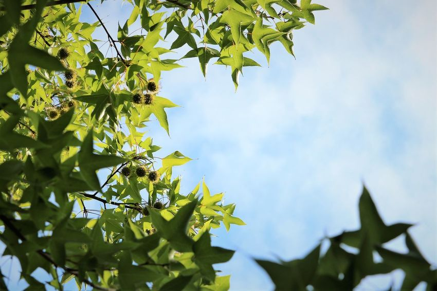 Formosan Sweetgum Chestnut Formosan Sweetgum Leaves🌿 Liquidambar Formosana Platanus Tree Beauty In Nature Beech Tree Branch Conker Tree Day Freshness Fruit Green Color Growth Leaf Leaf Vein Leaves Low Angle View Nature No People Outdoors Plant Pointed Tree