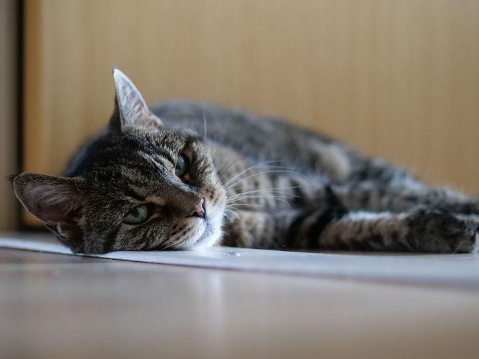 Close-up of a cat resting