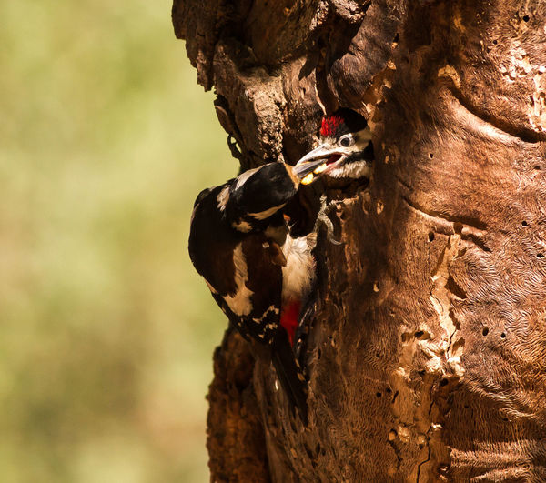 Close-Up Of Woodpeckers