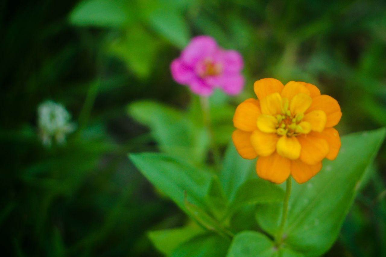 flower, petal, beauty in nature, fragility, nature, flower head, freshness, growth, blooming, plant, yellow, green color, day, no people, focus on foreground, outdoors, close-up, zinnia