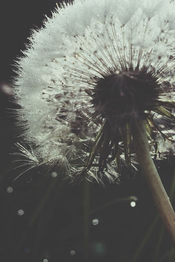 Dandelion Flower Nature Close-up Plant Fragility Growth Flower Head Beauty In Nature Outdoors No People Day Dandelion Flower Collection Nature_collection Beauty In Nature Simplicity