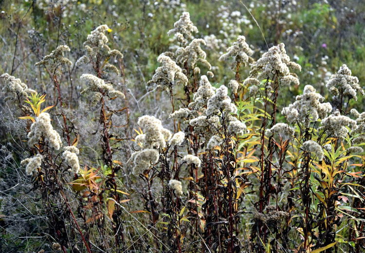 Withered flowers. Dew Fall Beauty Fall Begins Agriculture Beauty In Nature Day Fall Field Flower Flowers Fragility Growth Morning Dew Nature No People Outdoors Plant Tranquility Weeds Weeds In The Garden Withered  Withered Flowers