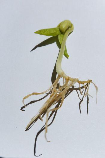 ต้นอ่อน ต้นอ่อนถั่วงอก ต้นอ่อนถั่วเขียว Sprouts 🌱 Root Roots Sprouts New Sprouting Veggies Sprouting Up Sproutsphotography White Background Leaves🌿 White Background Sprouts Sprout Sprout🌱 ต้นอ่อน ต้นอ่อนถั่วงอก ต้นอ่อนถั่วเขียว Full Length Branch Insect Confined Space Close-up Animal Themes