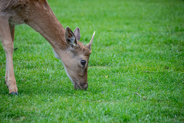 Velvet covering as new antlers grow on young fallow deer