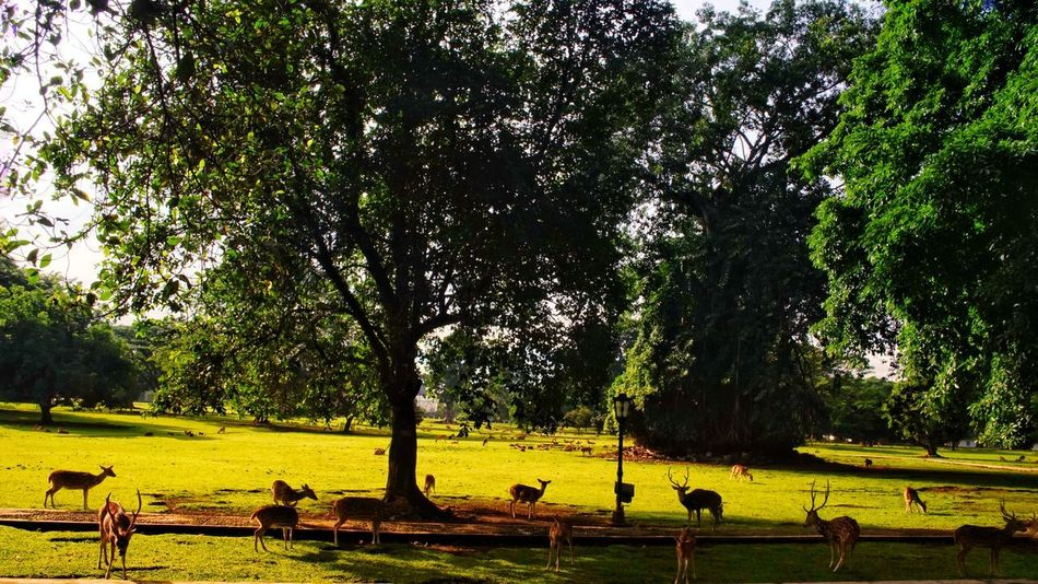 The deers in Bogor Presidential Palace yard. Indonesia Deers Deer Park Bogor, Indonesia Presidential Palace Morning View Travel Photography Photography By @jgawibowo Arif Wibowo Photoworks Shot By @jgawibowo Shot By Arif Wibowo Landscape Scenic Scenic View Tree Nature Outdoors Growth Water Beauty In Nature Day EyeEmNewHere