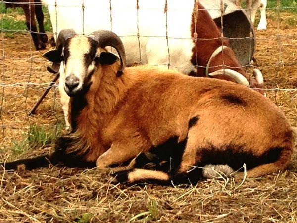 Hair Sheepg life] Hair sheep Sheep RAM Eyem Nature Lovers  American black belly ram sheep. New addition to my herd.