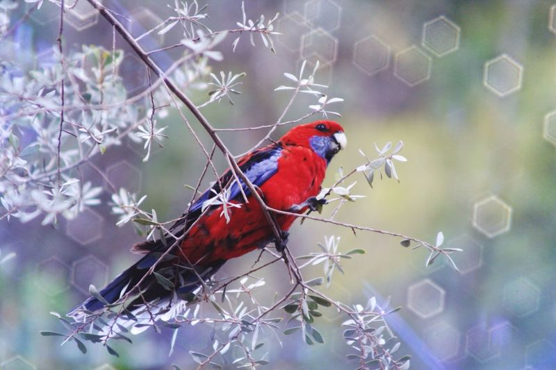 Low angle view of crimson rosella perches on tree