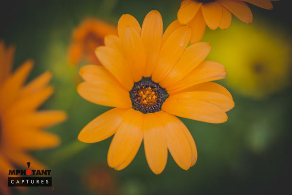 Beauty In Nature Blooming Close-up Day Flower Flower Head Focus On Foreground Fragility Freshness Growth Nature No People Orange Color Outdoors Petal Plant Pollen Selective Focus Single Flower Yellow