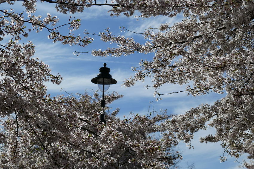 Blue Sky White Cloud Flowering Cherry Trees Lampost The Great Outdoors - 2017 EyeEm Awards EyeEm LOST IN London Perspectives On Nature #urbanana: The Urban Playground