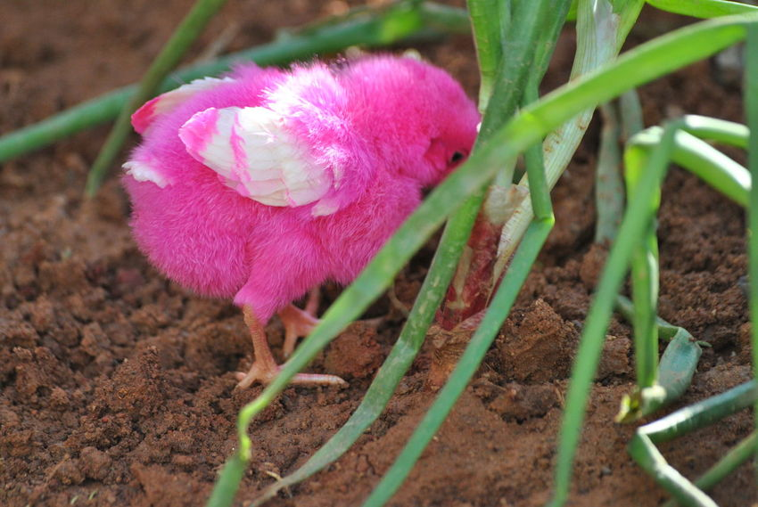 Pink Color No People Outdoors Nature Day Close-up Animal Themes Colored Chicks Bird Nature