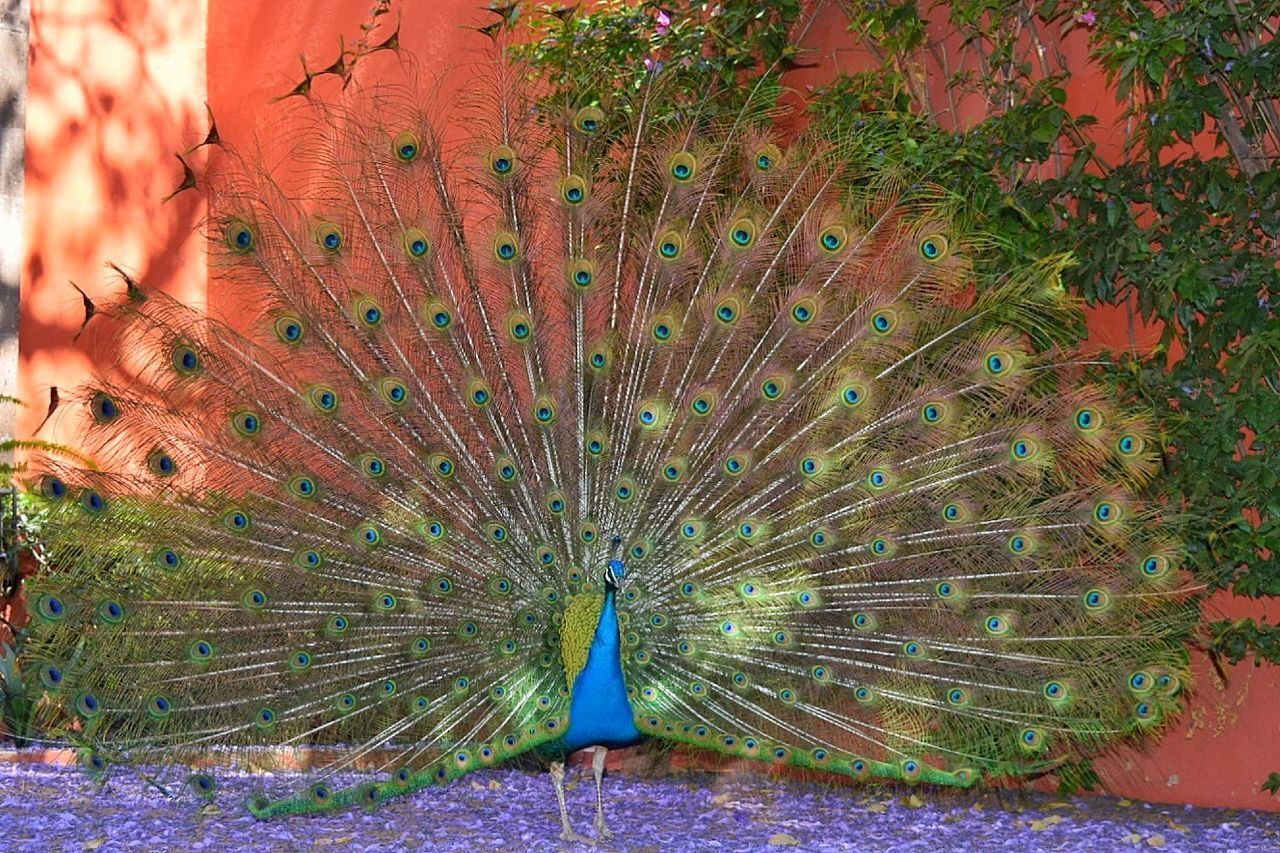 CLOSE-UP OF A PEACOCK ON THE SURFACE