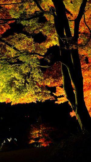 足立区の紅葉 Autumn Leaves Autumn Colors Maple Beauty In Nature Maple Leaf Adachi