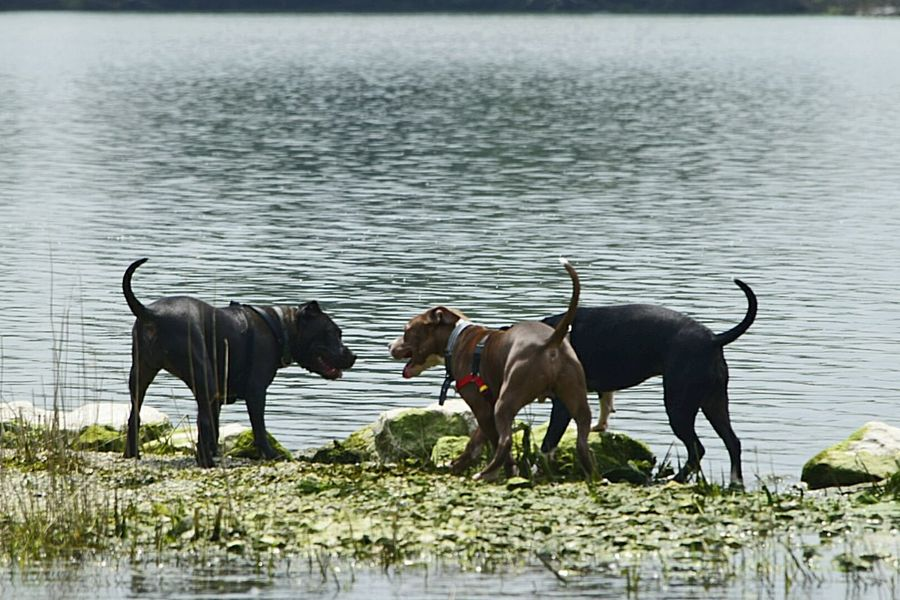 Faces Of Summer Lake Apbt I Love My Dogs Be Their Voice Bestfriend Lover Not A Fighter Pitbull Love Summertime Pitbulls