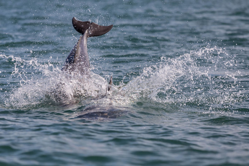 Dolphin splashing water at cardigan bay