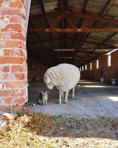 Barn Animal Love Rescued Friendnotfood Sheep Cat Kitten Feline Farm Santuary Animal Themes Livestock Sheep Domesticated Animal Tag Grazing Livestock Tag Lamb Flock Of Sheep Herbivorous