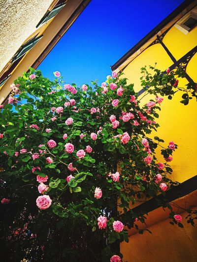 Low angle view of pink flowering plants against building
