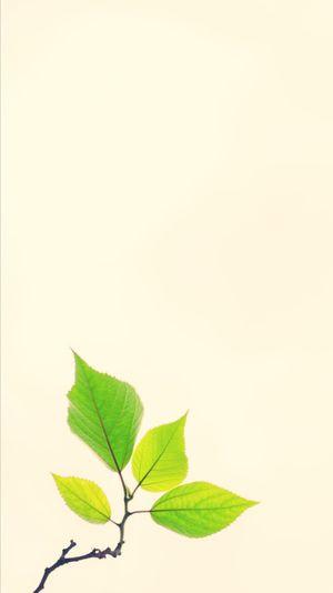 White Background Multi Colored Mint Leaf - Culinary Leaf Plant Part Summer Studio Shot Vine - Plant Close-up Plant