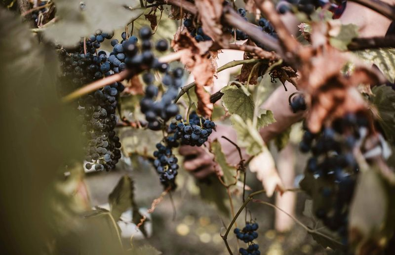 Agriculture Food Freshness Fruit Grape Healthy Eating Nature No People Outdoors Plant Plant Part Plantation Selective Focus Wellbeing