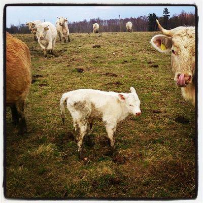 У коровы теленочек родился!:-D