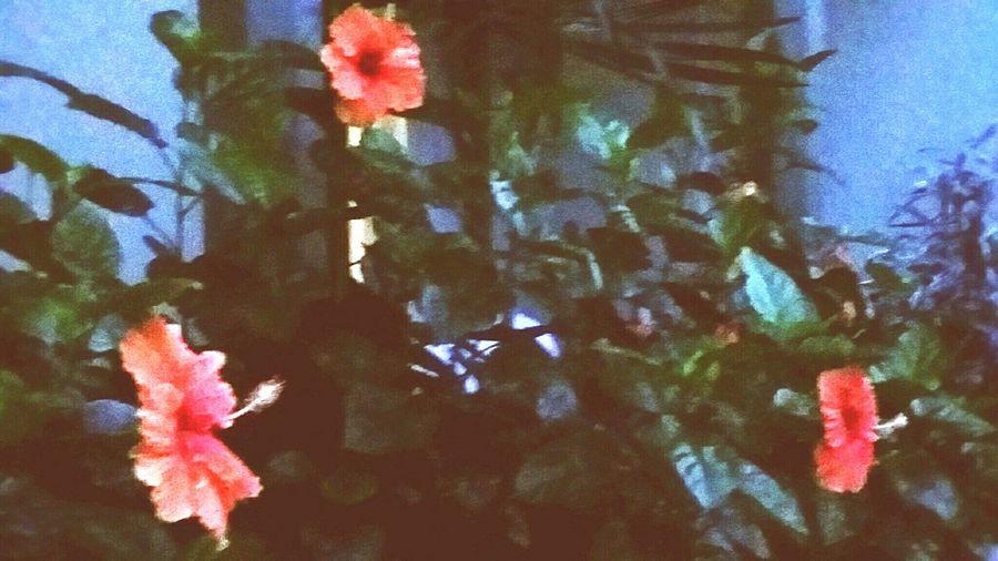 But three Hibiscus 🌺 ... in full bloom :) IslandBeauty Thirdtimesacharm
