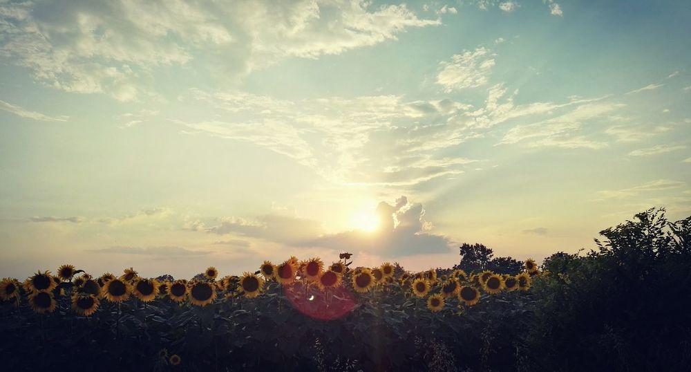Sun ☀ Sunflowers🌻 Clouds Flowers