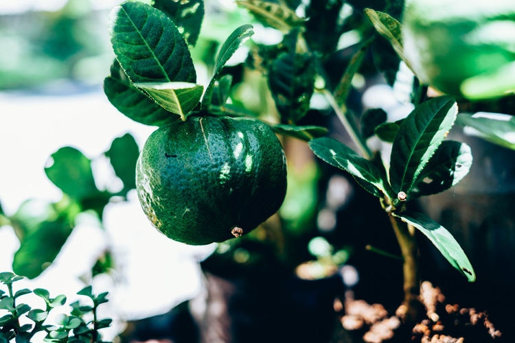 organic lemon Fruit Food Leaf Food And Drink Growth Plant Part Freshness Healthy Eating Green Color Plant Close-up No People Focus On Foreground Nature Day Beauty In Nature Wellbeing Tree Outdoors Selective Focus Lemon Organic Backgrounds Citrus  Isolated