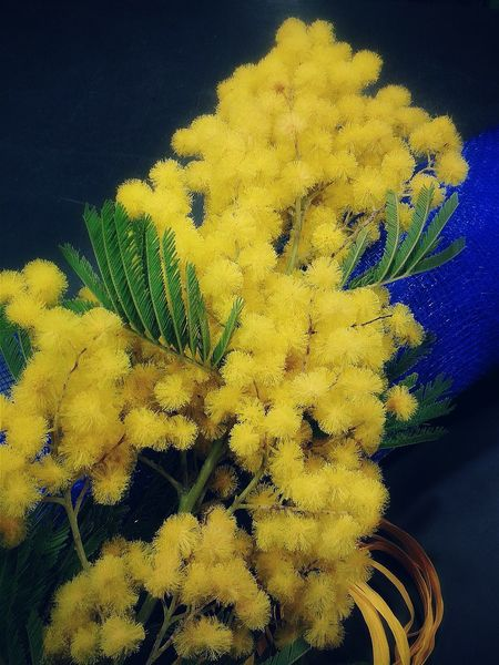 """For the women of EyeEm"". Have A Nice Day! 8 Marzo Festa Della Donna March The 8th Woman Day Frauentag Flowers Flower Porn Mimosa Mimose Mobile Photography S3mini Edited with VSCO and Eyeemfilter"