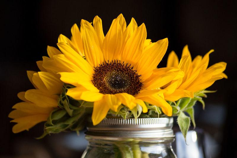 Close-up of sunflowers in mason jar