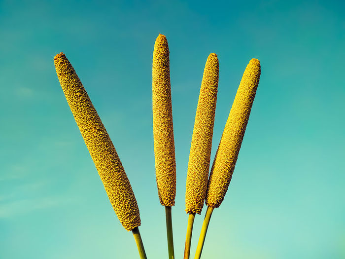 Close-up of yellow plant against blue sky