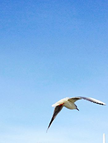 Bird Clear Sky Distant View Flying Mid-air Negative Space Seagull Soaring Up Above Spread Wings