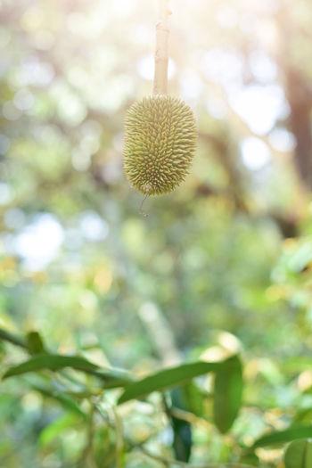 Volcano Durian