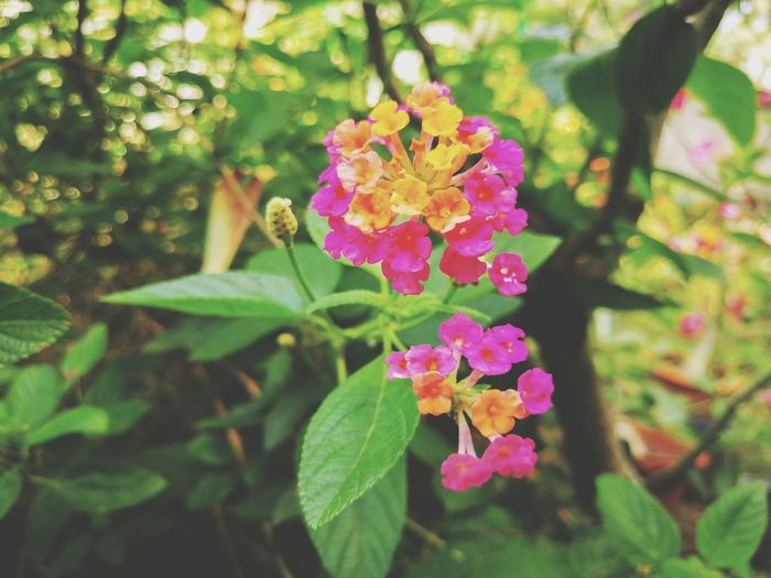 Flower Pink Color Fragility Nature Beauty In Nature Growth Freshness Leaf Petal No People Plant Outdoors Day Flower Head Green Color Close-up Backgrounds Wallpapers สวยงาม น่ารัก กลิ่นอันหอมหวาน Beauty In Nature Nature Lantana Camara Multi Colored
