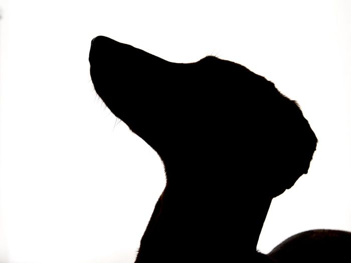 Dachshund Dackelblick Dog Dog Love Dogs Outline Pets Silhouette White Background