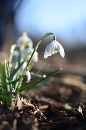 Close-up of white crocus on field