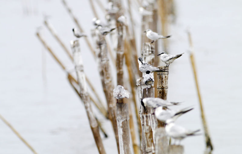 Black-headed seagull in thailand. Snow Cold Temperature Winter No People Nature Day Frozen Selective Focus Water Lake Outdoors Close-up Focus On Foreground Ice Tranquility Beauty In Nature Plant Stem Cattail Icicle