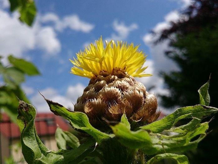 43 Golden Moments Grossköpfige Flockenblume
