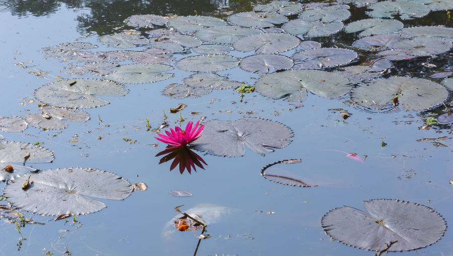 High angle view of pink lotus water lily in lake