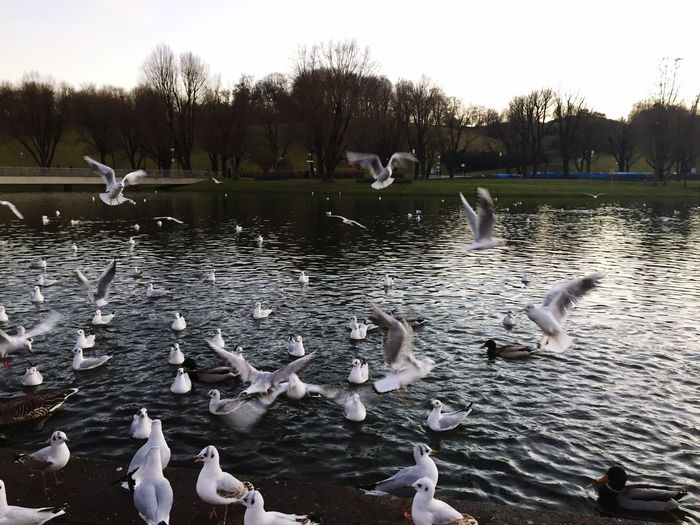 Animals In The Wild Bird Large Group Of Animals Animal Themes Lake Animal Wildlife Water Goose Flock Of Birds Nature Geese Outdoors No People Day Swan Beauty In Nature Sky