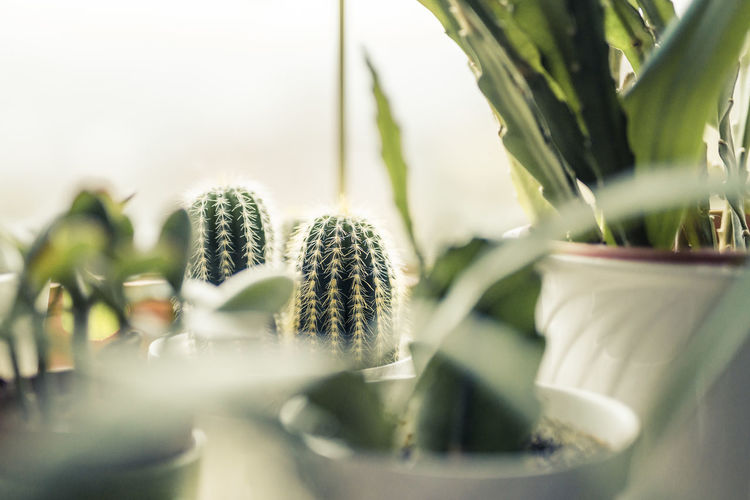 Cacti Green Green Green!  Beauty In Nature Cacti Love Cactus Cactuslover Close-up Container Day Flower Pot Food And Drink Front Or Back Yard Green Color Growth Houseplant Leaf Nature Outdoors Plant Plant Part Plantation Potted Plant Selective Focus Succulent Plant